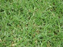 types of lawn grasses. lawn grass.