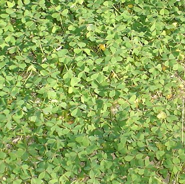 Lawn Weed Oxalis Lawns In Spain Real Green Grass Lawns
